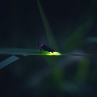 photo: a firefly with flashing light
