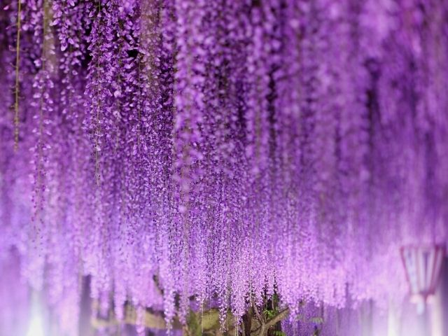 picture: wisteria flowers